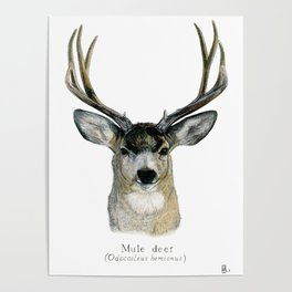 Mule deer Poster