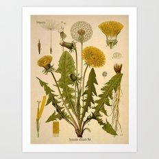 Botanical Print: Dandelion / Asteraceae  Art Print
