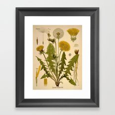 Botanical Print: Dandelion / Asteraceae  Framed Art Print