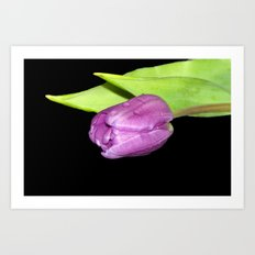 Purple Tulip Art Print