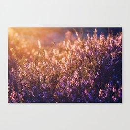 golden heather Canvas Print