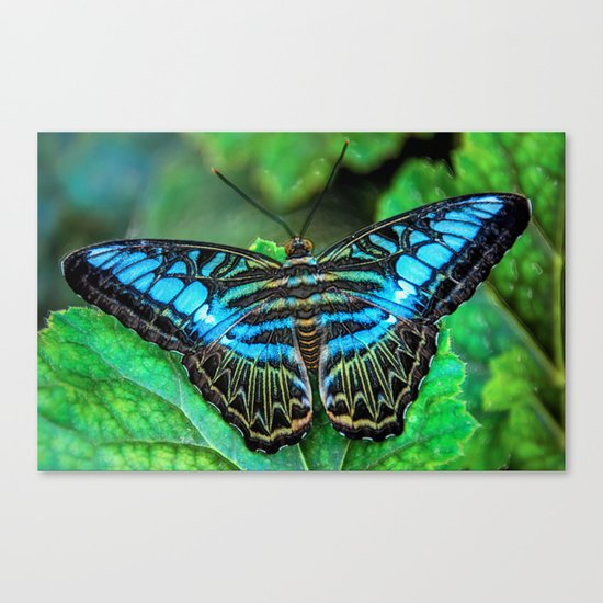 BUTTERFLY BLUE Canvas Print