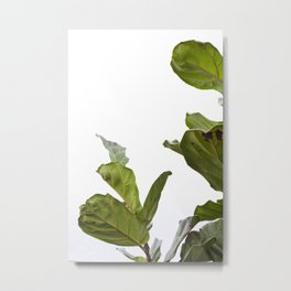 Fiddle Leaf Fig  |  The Houseplant Collection Metal Print