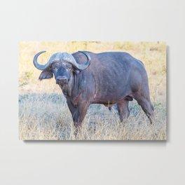 Cape Buffalo Metal Print