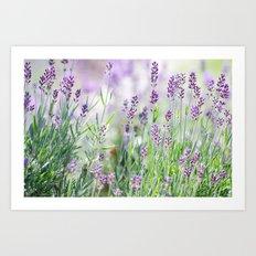 Lavender in summer garden Art Print