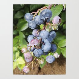 Ready to pick blueberries? Poster