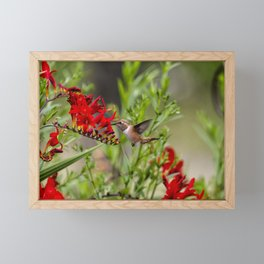 Rufous Hummingbird Feeding, No. 2 Framed Mini Art Print