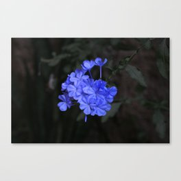 Intensely Blue Flowers Canvas Print