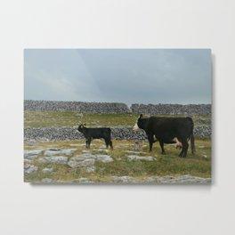 Cows in Ireland Metal Print