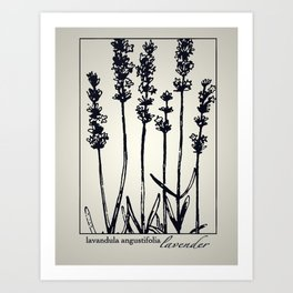 Lavender - Botanical Illustration Collection Art Print