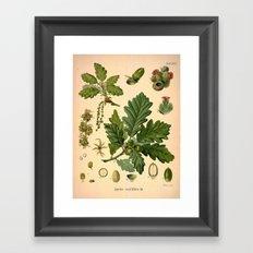 Botanical Print: Oak Tree / Acorn Framed Art Print