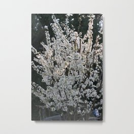 Plum in bloom Metal Print