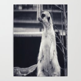 The Observent Meerkat Poster