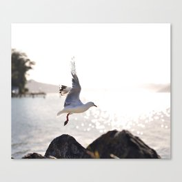 Seagull takes flight over Dunedin's MacAndrew Bay Canvas Print