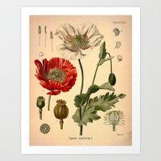 Botanical Print: Poppy Flower / Papaver Art Print