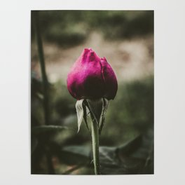 Single pink rose against blurred background. Poster