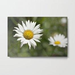 White daisy flowers Metal Print