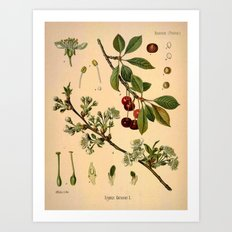 Botanical Print: Cherry Blossom / Prunus serrulata Art Print
