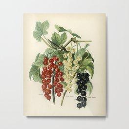 The fruit grower's guide  Vintage illustration of black naples  victoria, white dutch Metal Print