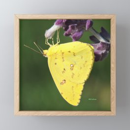 Orange Sulphur Butterfly Framed Mini Art Print