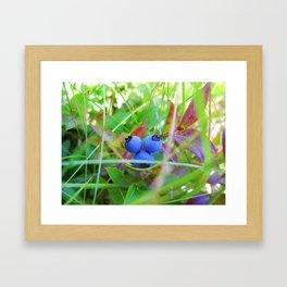 Maine Blueberries Framed Art Print