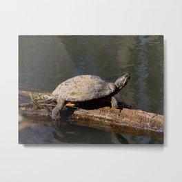 Turtle sunbather Metal Print