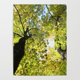 Tall Maple Trees in the Jackson County Forest Poster