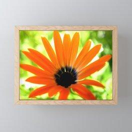 Solar orange daisy flower Framed Mini Art Print