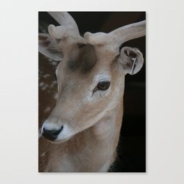 Young deer, portrait Canvas Print