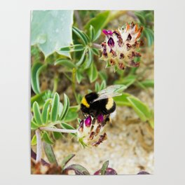 bumble bee on the dunes I Poster