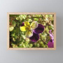 Wild Pansy (Tricolor) Framed Mini Art Print