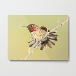 Hummingbird And Tail Feathers  Metal Print