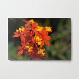 Crucifix Orchid - Epidendrum radicans Metal Print