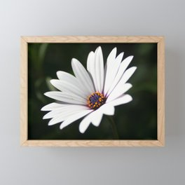 Daisy flower blooming close-up Framed Mini Art Print