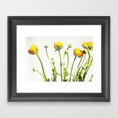 Golden Yellow Ranunculus Flowers on White Framed Art Print