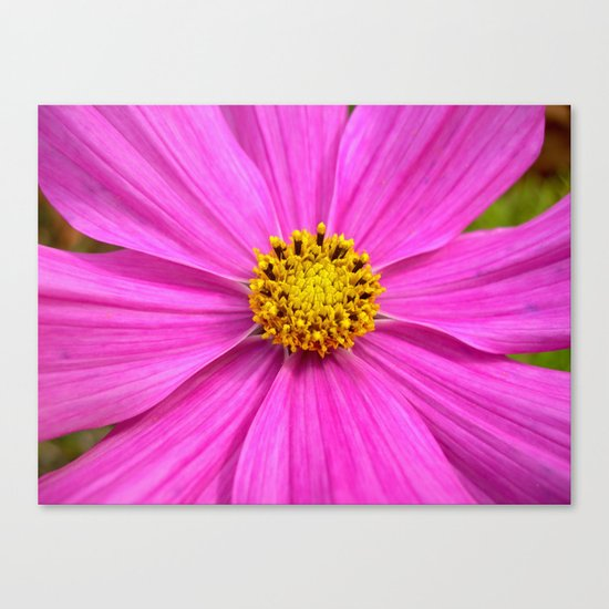 pink cosmos I Canvas Print