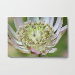 Astrantia flower close-up Metal Print