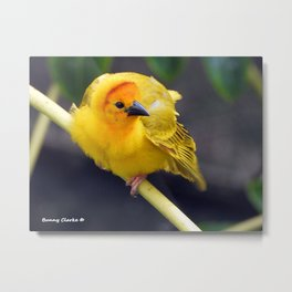 Male Orange Weaver Metal Print