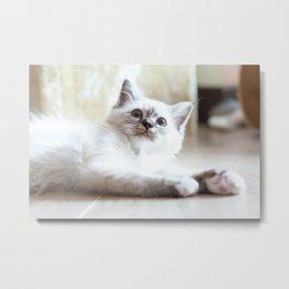 Portrait of white long hair birman cat with blue eyes. Metal Print