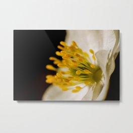 Wood anemone in close Metal Print