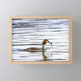 Great crested grebe and its catch Framed Mini Art Print
