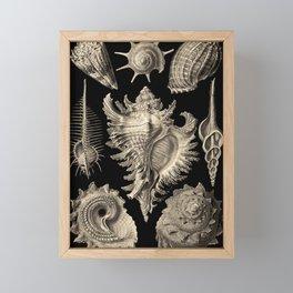 Ernst Haeckel Prosobranchia Sea Shells Framed Mini Art Print