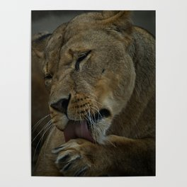 Lioness Licking Her Paw Poster