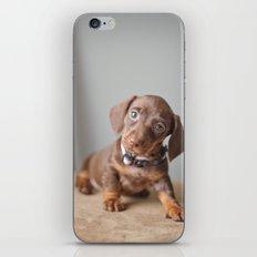 Dachshund Puppy iPhone & iPod Skin
