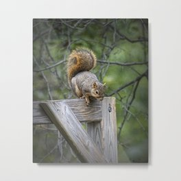 Fox Squirrel on a fence Metal Print