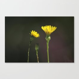 Dandelion Family Canvas Print