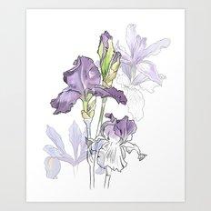 Iris - Flower botanical illustration Art Print