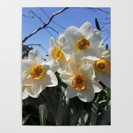 Sunny Faces of Spring - Gold and White Narcissus Flowers Poster