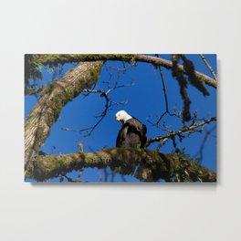 Perching Eagle Metal Print