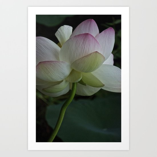 Lotus flower 4 Art Print